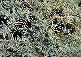 4 Bare Root of Coprosma Kirkii 'Variegata'