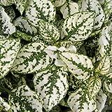Jmbamboo - Fairy Garden Hypoestes Phyllostachya, Confetti White, Polka Dot Plant