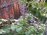 P029X01. 1 Plant of Salvia Mystic Spires Blue