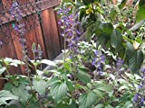 P029X03. 3 Plants of Salvia Mystic Spires Blue
