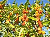 12 Seeds Ziziphus Mauritiana (Indian Jujube Fruit Tree)