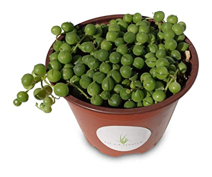 「string of pearls succulent」の画像検索結果