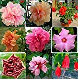Higarden Multicolor HIBISCUS Hibiscus rosa-sinensis plant seeds bonsai flower seeds
