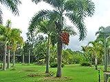1 Rooted of Wodyetia Bifurcata Foxtail Palm