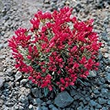 300 ROCK PURSLANE SEEDS - Calandrinia Umbelleta - Ruby Tuesda, Purple Moon