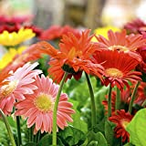 47 seeds Barberton Daisy Tree Seeds For Planting