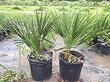 Chamaerops Humilis European Fan/mediterranean Fan Palm 3 gallon