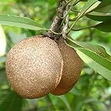 25 Achras sapota Seeds, Chico Sapote, Zapote, Chicle tree Seeds, Sapodilla, Ciku, Naseberry, Nispero, Sapote, Brown Sugar Fruit