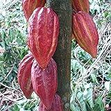 ~Chocolate Tree~ Theobroma Cacao CRIOLLO Cocoa XL 24-36+in Plant