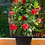 Rare Plant 50pcs A Bag Mandevilla Sanderi Seeds Beautiful Flower Bonsai Plant Diy Home Garden Seed Very Easy Plant