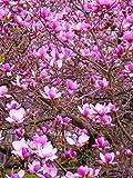 #1034 *VERY SHOWY!* MAGNOLIA TULIP TREE *7 seeds*RARE*