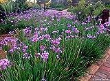P081X03. 3 Plants of Society Garlic Tulbaghia violacea