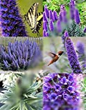 Echium Fastuosum Candicans rare Pride of Madeira purple flowers exotic 50 seeds