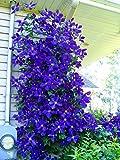 100pcs/bag Clematis seeds flowers clematis vine seeds perennial flower seeds climbing clematis plants bonsai pot garden plant 3