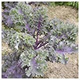 Everwilde Farms - 1 Lb Red Russian Kale Seeds - Gold Vault