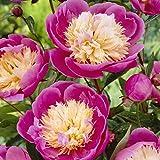Van Zyverden Peonies - Bowl Of Beauty- Set of 3 Roots