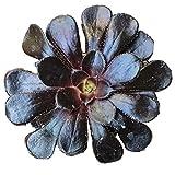 Black Rose Aeonium Arboreum Zwartkop (2 inch)