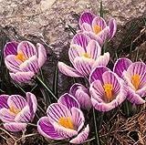 50 PCS Saffron purple stripes Seeds F95 F96 B38, Autumn Crocus Colchicum Autumnale Meadow
