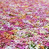 Daisy Seeds (Ice Plant) - Livingstone Mix - Packet, Various Hues of Red/Pink/White/Yellow/Purple, Flower Seeds