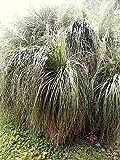 Nolina bigelovii BEAR GRASS Hardy Exotic SEEDS!