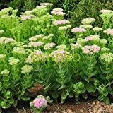 Mix-colors Stonecrop Seed 50pcs/bag Sedum Spectabile Boreau Flower Seeds Beautiful Flower Home Garden Plant Bonsai