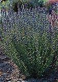 Herb Seeds - Hyssopus Officinalis Nectar Blue Seeds