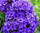 50+ Heliotrope Marine Blue Flower Seeds / Perennial