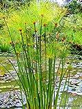 CYPERUS PAPYRUS @@ paper reed flatsedge exotic aquatic flowering plant 100 seeds