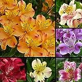 Braceus 100 Pcs Alstroemeria Lily Seeds Mix Colors Flowers Home Plant Garden Decor
