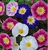 Convolvulus Tricolor Dwarf Morning Glory Seeds, Original Pack, 30 Seeds / Pack, Annual Plant with Solitary Long-stalked Flowers