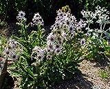 BERKHEYA PURPUREA Zulu Warrior Unique Rare Purple Hardy Perennial 5 Seeds