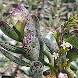 Adromischus maculatus Cactus Cacti Real Live Succulent Plant