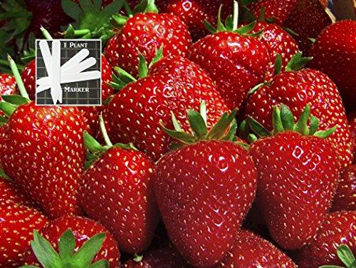 Organic Sparkle Strawberry 300 Seeds Upc 646263362518 + 1 Free Plant Marker
