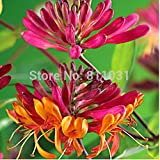 20 TATARIAN HONEYSUCKLE Lonicera tatarica seeds ~special free shipping