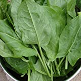 Large Leaf Sorrel Rumex Acetosa 200 Seeds