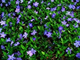 Vinca Minor Evergreen Ground Cover Plants (1 order contains 50 bare root plants)