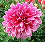 Lulan Emory Paul Dinnerplate Dahlia - 2 Bulb Clumps
