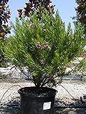 Desert Willow Tree (Chilopsis linearis), 200 Seeds, Pink Flower