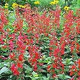 David's Garden Seeds Flower Sage Scarlet Texas Native SL3240 (Red) 500 Non-GMO, Open Pollinated Seeds