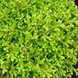 "Golden Spikemoss -Selaginella kraussiana 'Aurea' - 4"" Pot"