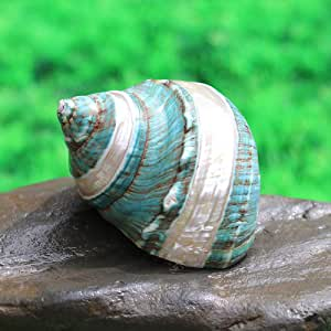 WEDR Escultura Decoracion Silver-Green Natural Conch Shell