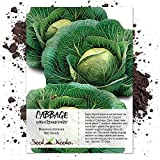 Seed Needs, Early Round Dutch Cabbage (Brassica oleracea) 300 Seeds Non-GMO