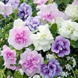 Best Garden Seeds Rare 'Xin Hun' Colorful Petunia Seeds, 200 Seeds, Professional Pack, Annual White Pink Purple Mixed Double-Petalled Flowers