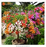Thanatorn seed shop Mix-Color Bougainvillea Spectabilis Willd Seeds Bonsai Flower Plant Seeds 100 Particles / lot