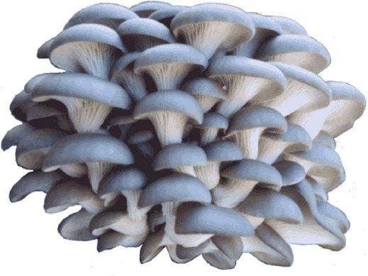 Amazon.com : Organic Blue Oyster Mushroom Growing Kit : Garden & Outdoor