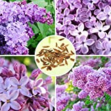 30pcs Purple Fragrant Lilac Shrub Seeds Vulgaris Syringa Flowers Seed