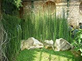 "13 x Horsetail Reed Pond Plants bamboo Looking Zen Garden 15"" tall"