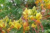 10 seeds Yellow or Desert Bird of Paradise small tree yellow blooms sun- shade xeriscape drought tolerant Zone 8+ Caesalpinia Gilliesii