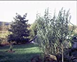 Arundo donax GIANT REED Ornamental Grass Seeds!