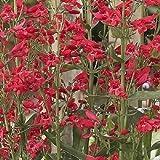 PENSTEMON 'RED RIDING HOOD' - BEARDTONGUE - STARTER PLANT